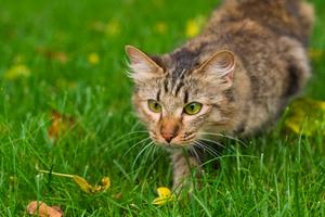 158 FR Les chats et leur instinct de chasseur.