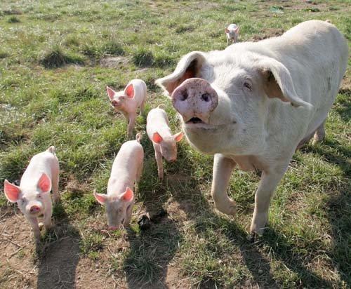324639 porc